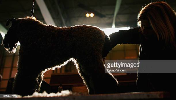 A dog is groomed by its owner before competing in Crufts International Dog Show at the National Exhibition Centre on March 10 2007 in Birmingham...