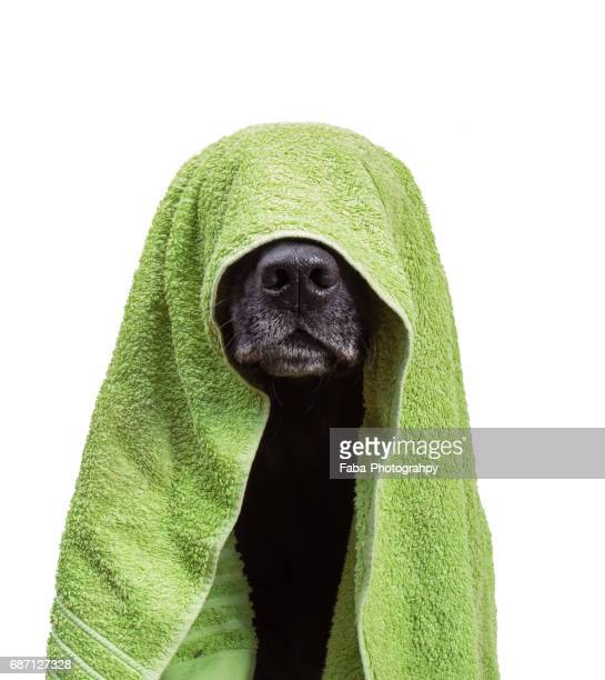 A Dog is hiding under a towel