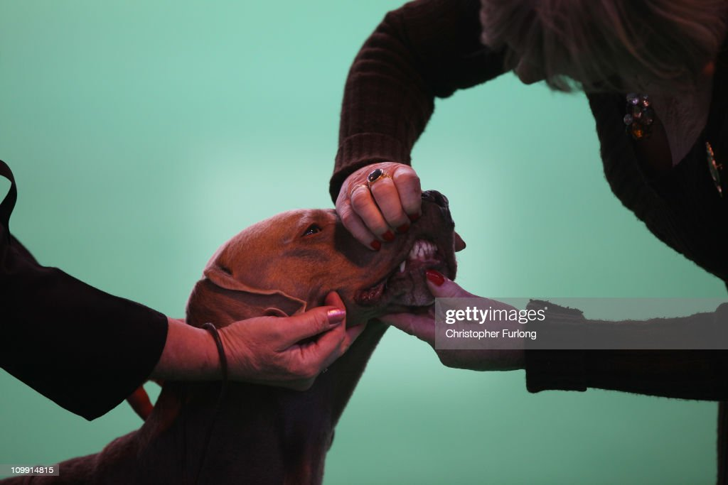 A dog is judged in the parade ring on the first day of the annual Crufts dog show for the Gun Dogs section at the National Exhibition Centre on March 10, 2011 in Birmingham, England. During this year's four-day competition nearly 22,000 dogs and their owners will vie for a variety of accolades, ultimately seeking the coveted 'Best In Show'.