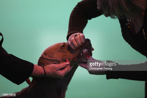 Dog is judged in the parade ring on the first day of the annual Crufts dog show for the Gun Dogs section at the National Exhibition Centre on March...