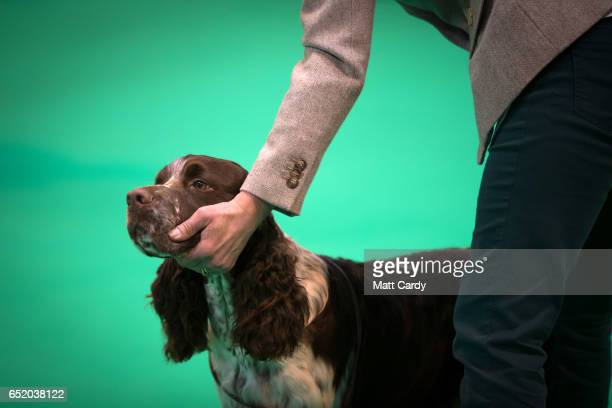 Dog is judged on the third day of Crufts Dog Show at the NEC Arena on March 11, 2017 in Birmingham, England. First held in 1891, Crufts is said to be...