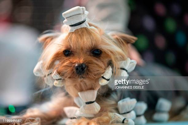 A dog is prepared before participating in the 144th annual Westminster Kennel Club Dog Show on February 10 2020 in New York City Over 200 breeds and...