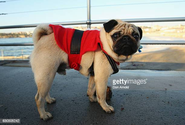 A dog is seen dressed for Christmas at Bondi Beach on December 25 2016 in Sydney Australia Bondi Beach is a popular tourist destination on Christmas...