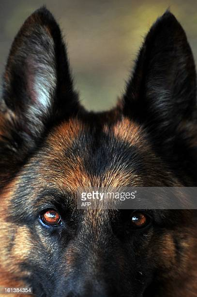 A dog is seen during the First Championship of German Shepherd Dog Breeding organized by the Association of German Shepherd Dogs of Nicaragua in...