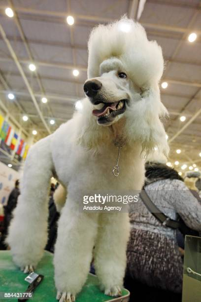 A dog is seen during the International Dog Shows of all breeds 'Kievan Rus 2017' and 'The Crystal Cup of Ukraine 2017' in Kiev Ukraine on December 02...