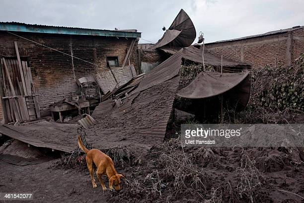 A dog is seen near a broken house caused by ash following a further eruption of the Mount Sinabung in Sebintun village on January 9 2014 in Karo...