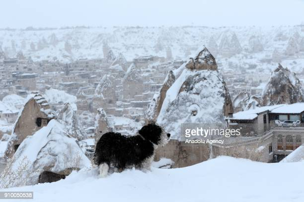 A dog is seen near fairy chimneys after heavy snow in Cappadocia region of Nevsehir Turkey on January 25 2018