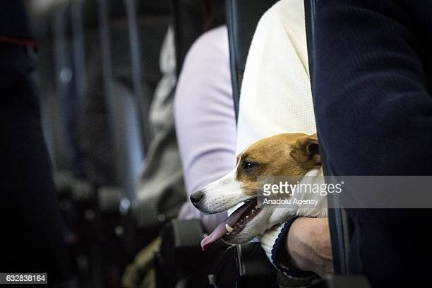 A dog is seen on the lap of its owner in a plane in Chiba Japan on January 27 2017 Japan Airlines 'wan wan jet tour' allows owners and their dogs to...