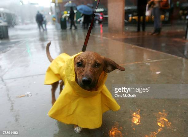 A dog is seen wearing a raincoat April 15 2007 at Astor Place in New York City The East coast is bracing for a severe nor'easter bringing heavy rain...