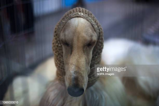 Dog is seen with a neck gaiter during the seventh edition of 'Mi mascota' at the Palacio de Ferias y Congresos in Malaga. 'Mi mascota' is an event...