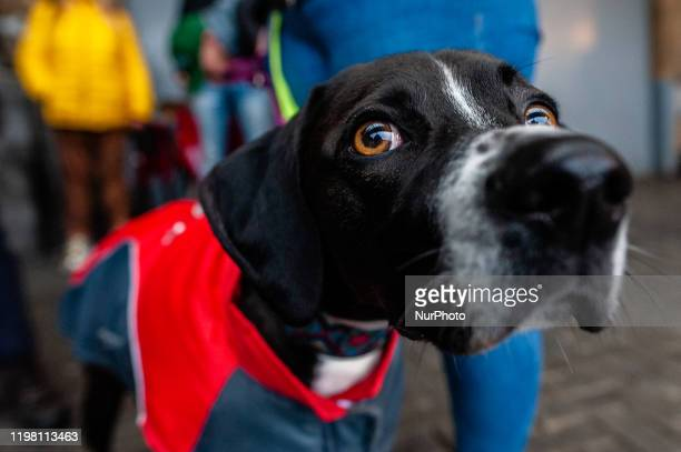 A dog is waiting with her owner at the Central train station before the Demonstration against the abuse of Greyhounds and Podenco in Spain started in...