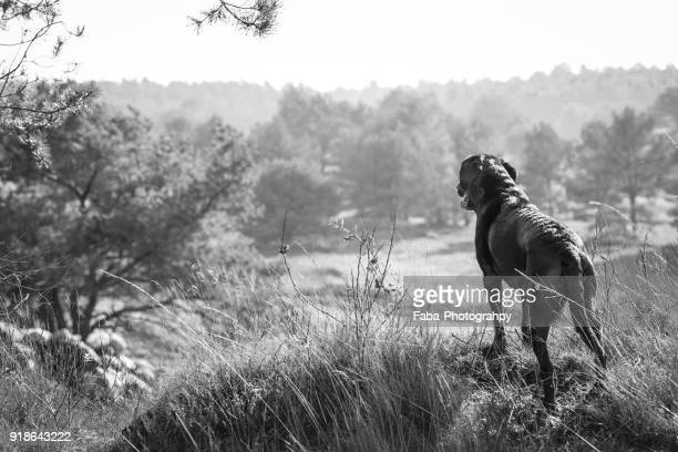 a dog is watching from a hill - hunting dog stock pictures, royalty-free photos & images
