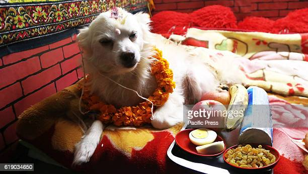 A dog is worshiped on the second day of religious festival of Tihar in Kathmandu Tihar is a five days second largest festival dedicated to various...