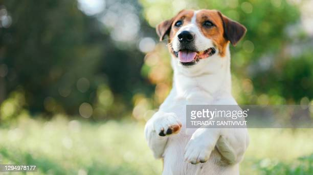 dog jack russel terrier on lawn near house. happy smiling dog with copyspace in green background - jack russell terrier stock pictures, royalty-free photos & images