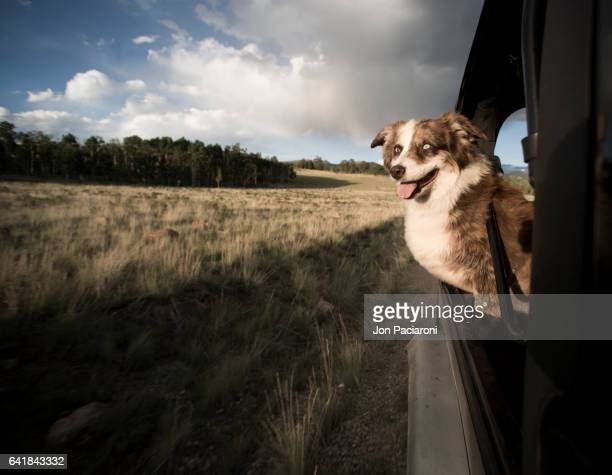 dog jeep love - australische herder stockfoto's en -beelden