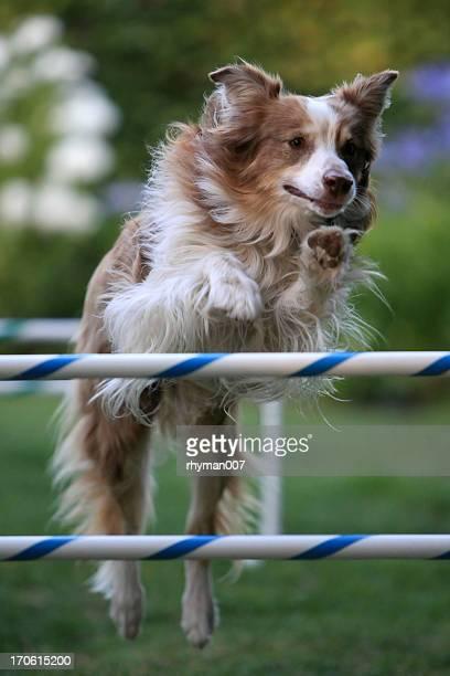 dog jump - australische herder stockfoto's en -beelden