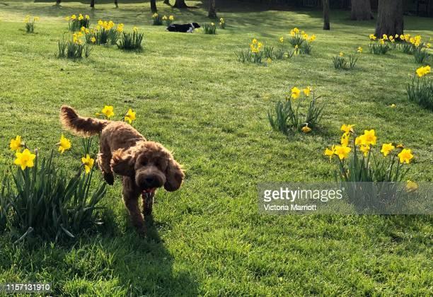 dog jumping amongst flowers - cockapoo bildbanksfoton och bilder