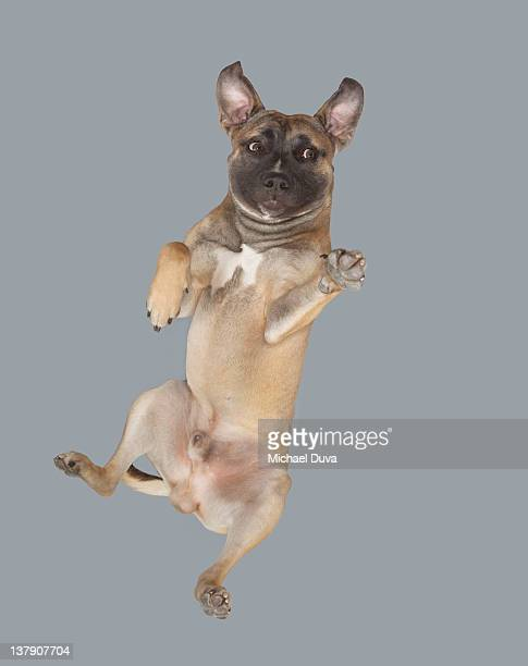 Dog jumping and reaching for something.