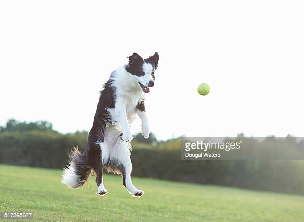 Dog jumping for tennis ball in field.