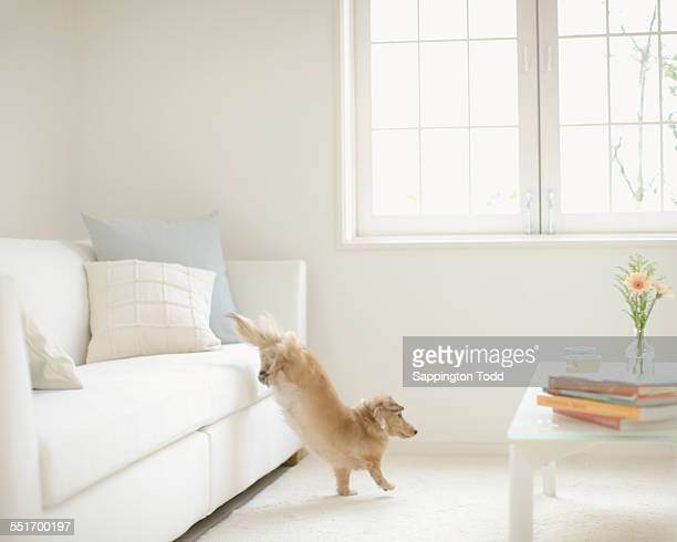 Dog Jumping From Couch