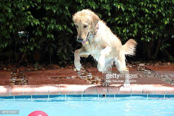 Dog Jumping In Swimming Pool