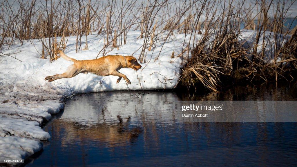 A dog jumping into a lake. : Stock Photo