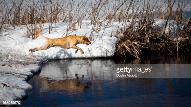 a dog jumping into a lake. - dustin abbott imagens e fotografias de stock