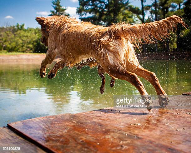 dog jumping into lake - stagno acqua stagnante foto e immagini stock