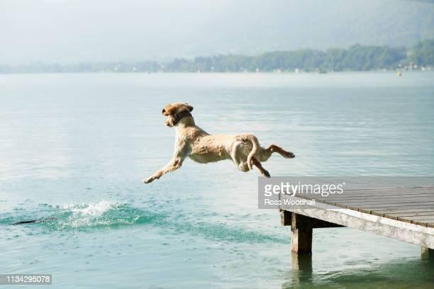 dog jumping off pier into lac d'annecy, annecy, france - erfrischung stock-fotos und bilder