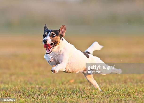Dog jumping on meadow