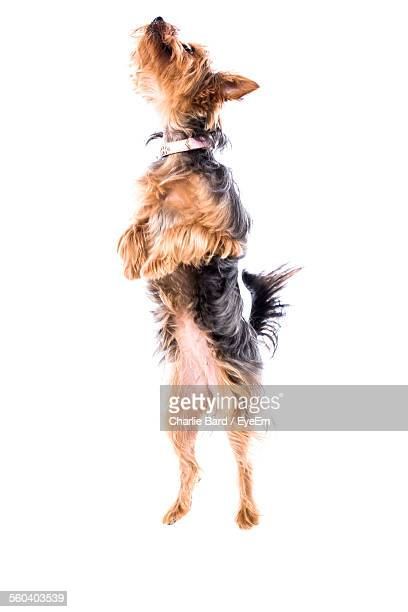 Dog Jumping Over White Background