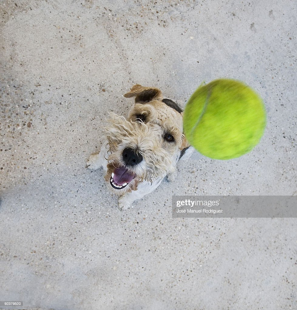 Dog  jumping to catch tennis ball : Stock-Foto