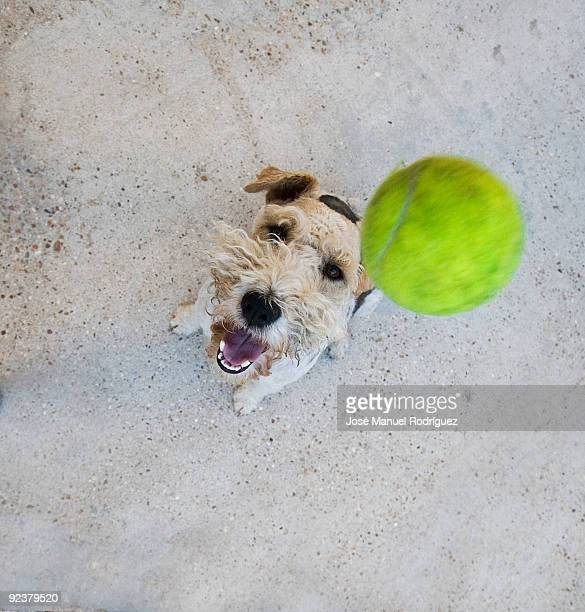 Dog  jumping to catch tennis ball