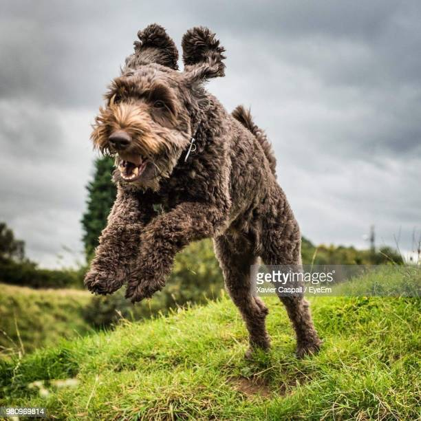 dog jumping while running on field against sky - cockapoo stock pictures, royalty-free photos & images