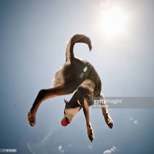 Dog jumps high to catch the ball