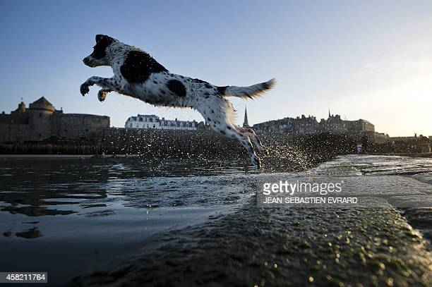 A dog jumps into a natural sea water swimming pool on October 31 2014 in the Brittany city of Saint Malo western France AFP PHOTO / JEANSEBASTIEN...