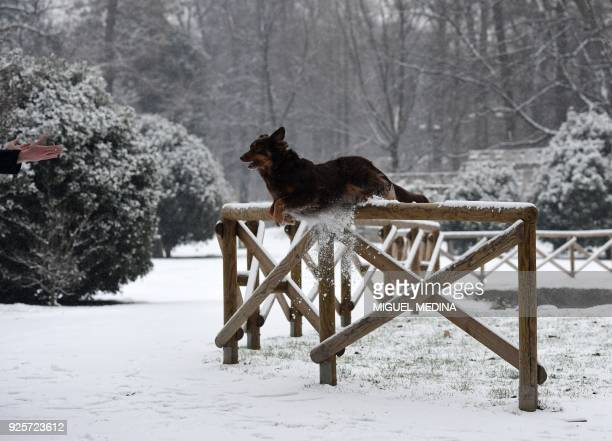 A dog jumps off a wooden fence in Sempione garden after snowfall in Milan on March 1 2018 Fresh heavy snowfalls and icy blizzards were expected to...