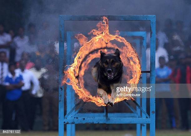 A dog jumps through a ring of fire during a demonstration following celebrations for the 151th anniversary of Sri Lanka's police in Colombo on...