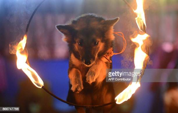 A dog jumps through a ring of fire during a show in Horana South outside Colombo on October 26 2017 / AFP PHOTO / LAKRUWAN WANNIARACHCHI