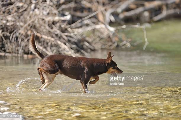 dog kelpie walking in a water - australian kelpie stock pictures, royalty-free photos & images