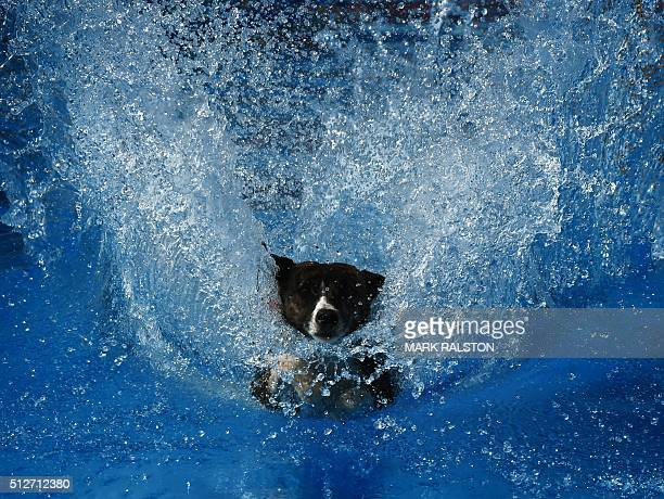 A dog lands in the water after leaping from a dock during the Dock Dogs West Coast Challenge in Bakersfield California on February 26 2016 The...