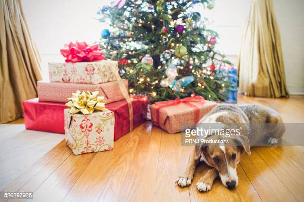 Dog laying by presents under Christmas tree