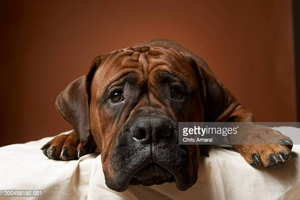 dog laying down - boxer dog stock pictures, royalty-free photos & images