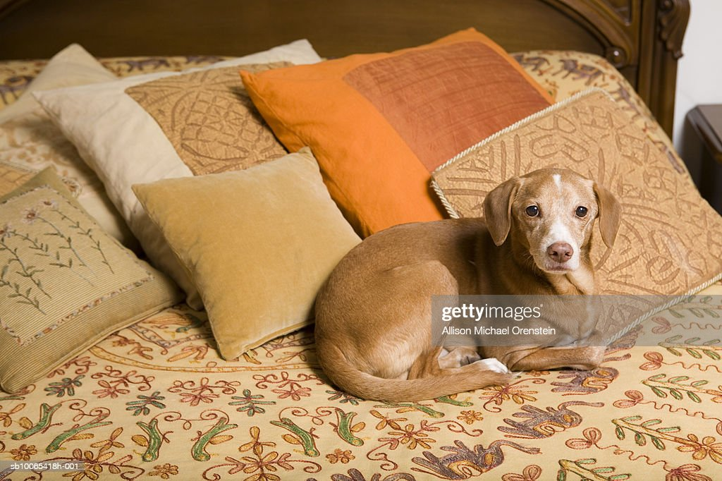 Dog laying on bed : Foto stock