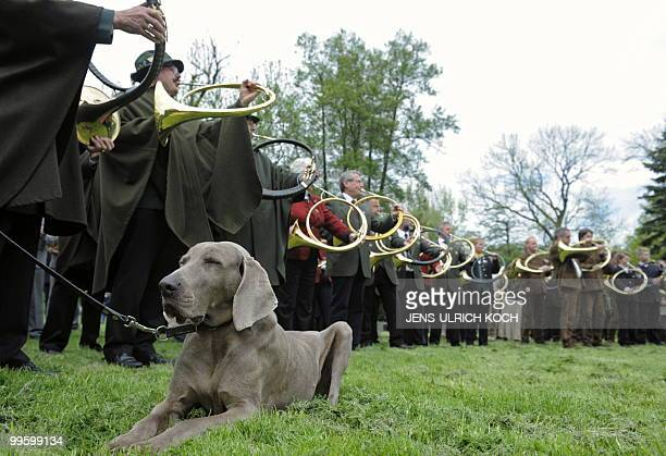 A dog lays on the grass as traditional hunting horn blowers take part in nationwide completion near the eastern German city of Weimar on May 16 2010...