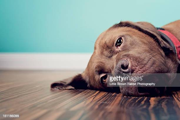 Dog lazing on wood floor with blue background