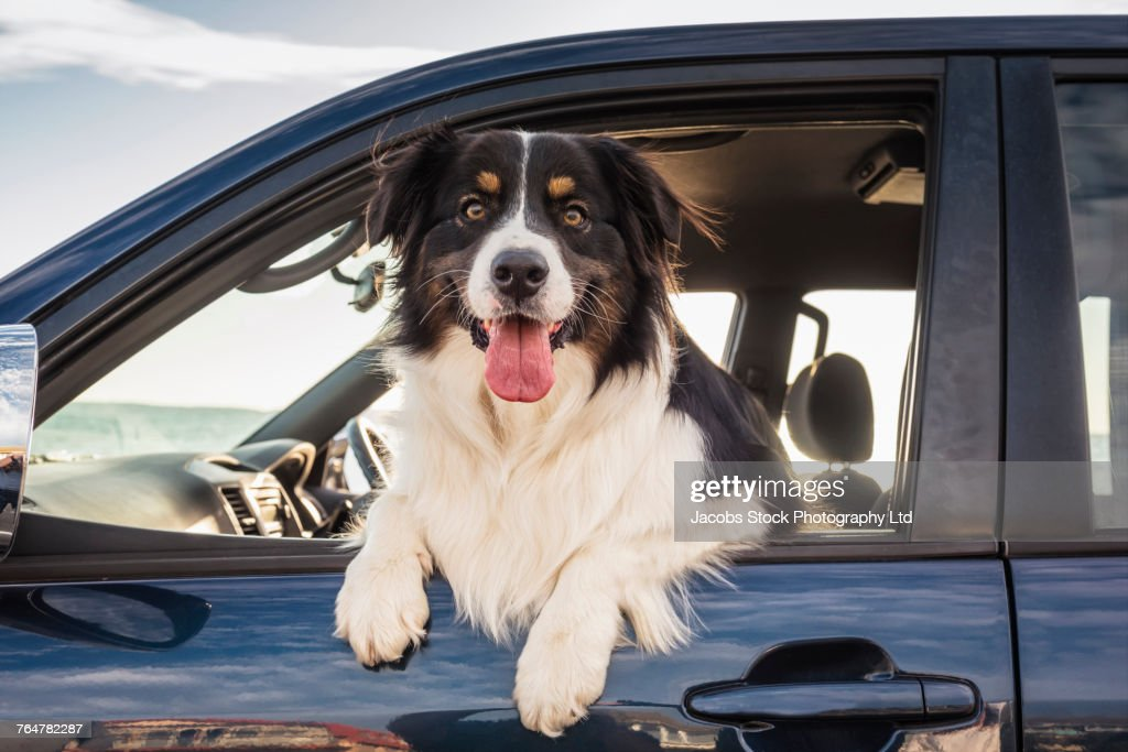 Dog leaning out window of car : Foto de stock