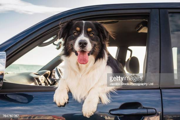 dog leaning out window of car - dog stock pictures, royalty-free photos & images