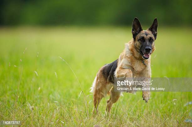 Dog leaping in tall grass