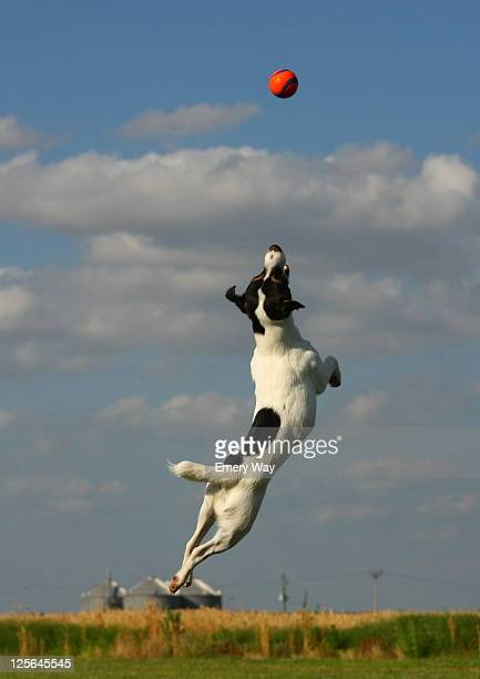 Dog leaps in to sky to catch his ball